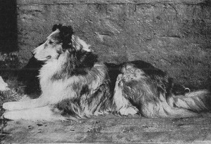 Ormskirk Christopher, the first collie ever to sell for over £1000